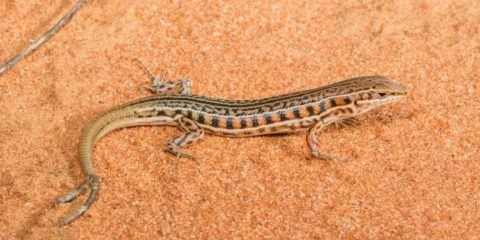 Double take: New study analyses global, multiple-tailed lizards