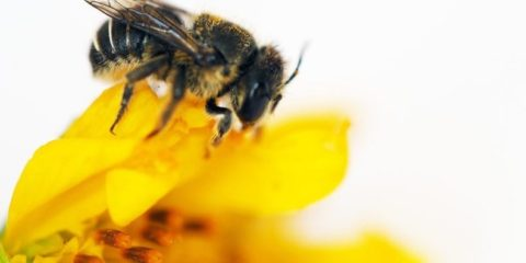 Curtin research finds first African carder bees to reach Western Australia